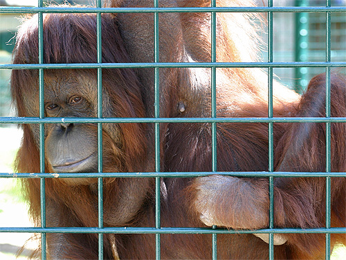 http://www.zoo-palmyre.images-en-france.fr/images/photos/orang-outan.jpg